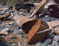 reclaimed cedar as driftwood